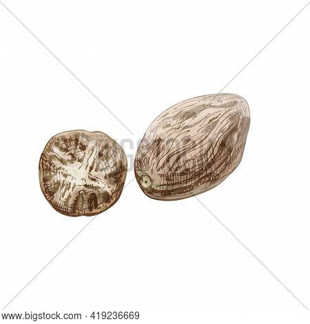 Whole And Half Nutmeg. Vintage Vector Hatching Color Hand Drawn Illustration Isolated On White Backg