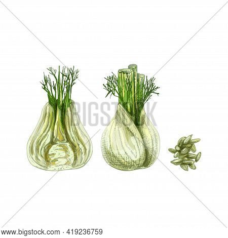 Fennel Bulbs Whole And Half. Vintage Vector Hatching Color Hand Drawn Illustration Isolated On White