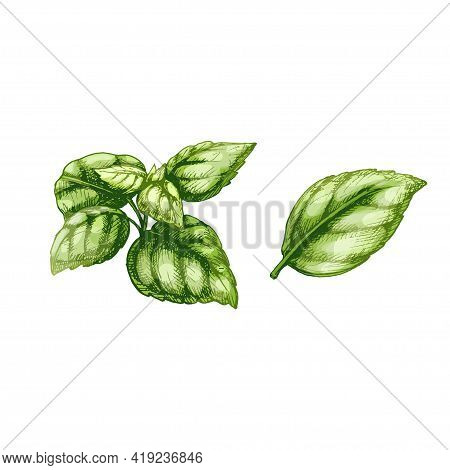 Basil Fresh Leaves. Vintage Vector Hatching Color Hand Drawn Illustration Isolated On White Backgrou