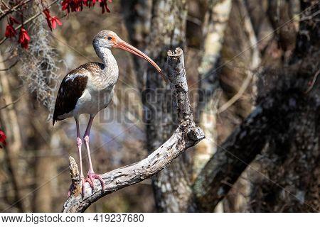 Single American Juvenile White Ibis On A Tree