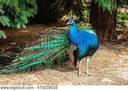 Beautiful Male Peafowl Referred To As Peacock In Park.blue Indian Peacock,pavo Cristatus, With Color