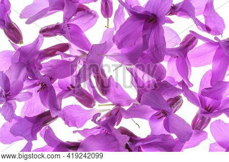 Full Frame Abstract Floral Background - Many Fresh And Vibrant Violet Petals Of Spring Wild Flower -
