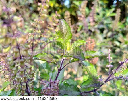 Ocimum Tenuiflorum Tree And Flowers Healthy Green Leaves Organic Ayurvedic