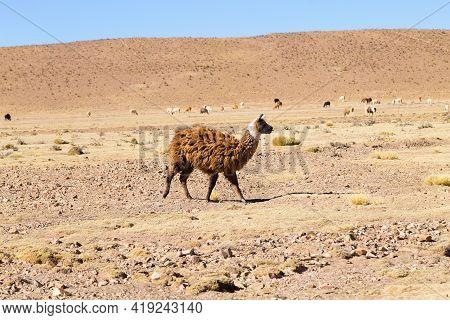 Bolivian Llama Breeding On Andean Plateau, Bolivia