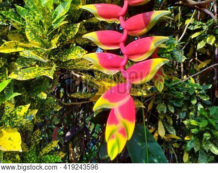 Hanging Heliconia Flower In The Garden Blossom Background Nature