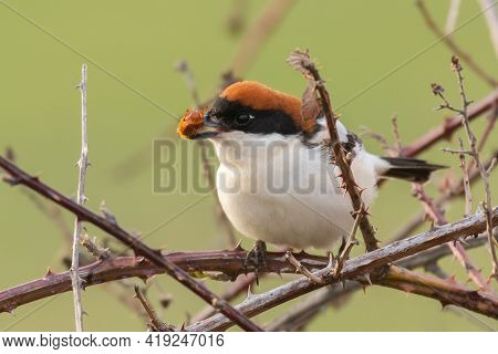 The Woodchat Shrike Lanius Senator In Natural Habitat Perched On Branch, With A Beetle In Its Beak.