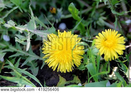 Dandelion Is A Plant With A Fluffy Yellow Bud On A Green Background. Yellow Dandelion Flower Grows I