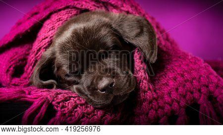 Portrait Of Sleeping Chocolate Labrador Retriever Puppy. Sweet  Doggy Dreams In A Cozy Purple Bedspr