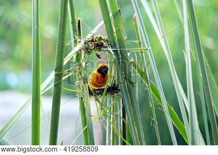 Close Up Baya Weaver Bird In Action With New Nest.