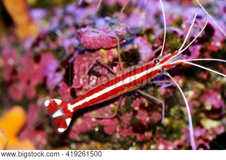 Skunk Cleaner Saltwater Reef Shrimp - Lysmata Amboinensis