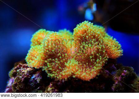 Sarcophyton Soft Coral With Green Polyps - Sarcophyton Ehrenbergi