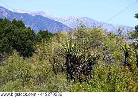 Juniper And Pinyon Pine Trees Besides Yucca Plants On The Southern California High Desert Plateau Ta
