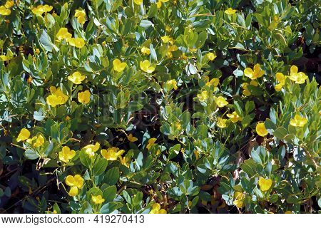 Poppy Bush Flower Blossoms During Spring Which Is A Native Chaparral Shrub On The Arid Southern Cali