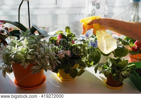 Housewife Spraying Flowers, Blue And Red Violets From A Spray Bottle. Senior Woman Watering Plants O