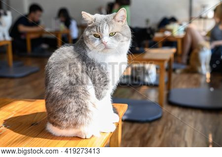 A Cute Cat On Wood Table In Cat Cafe. Cat Cafe Is A Theme Cafe Whose Attraction Is Cats That Can Be