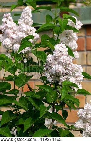 Beautiful Branch Of White Terry Lilac In The Spring In The Garden