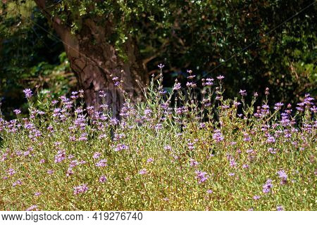 Lush Meadow Covered With Spring Wildflowers Surrounded By An Oak Woodland Taken On A Grassy Field At