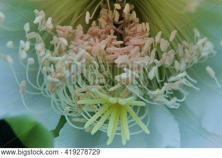 Close Up Stamen And Stigma Of Cereus Cactus Flower