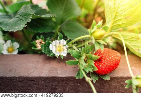 Close Up Ripe Strawberries In A Vegetable Garden And New Flowering Berries With Blurred Background,