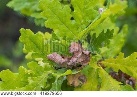 Oak Autumn Leaves Close-up For Background. Oak Grove. Autumn Background With Dry Oak Leaves. Colorfu