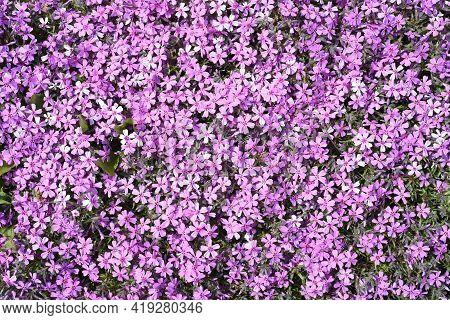 Phlox Subulata (creeping Phlox) Flowers Growing In Far East Of Russia