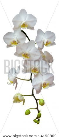 Isolated Orchid