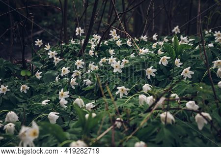 Sea Anemonoides Nemorosa In Floodplain Forest In The Spring Months In The Czech Lands. Awakening Of