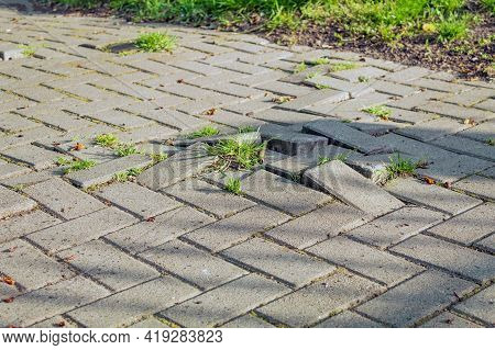 Grass Sprouts Through Paving Stones. The Roots Raise The Paving Slabs.