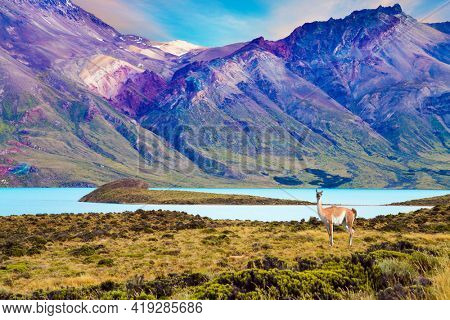 Argentina, Patagonia. Guanaco is a wild humpbacked camel that lives in South America. Huge lake with azure water and cold mountains. Los Glaciares Natural Park