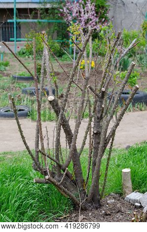 Spring Briar Bush With Trimmed Branches. A Large Bush With Prickly Branches Without Leaves. Gardenin