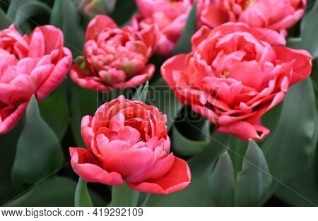 Beautiful Freshness Eternal Flame Double Late Tulip Or Peony Tulips, Blooms With Red Numerous Petals