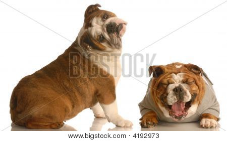 Bulldog With Head Tilted And Another Laughing