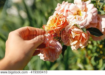 Woman Hand Holding Pink Rose Flowers In Rockery In Summer Time. Gardener Worker Cares About Flowers