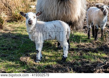Irish Ram With Small Lamb In County Donegal - Ireland