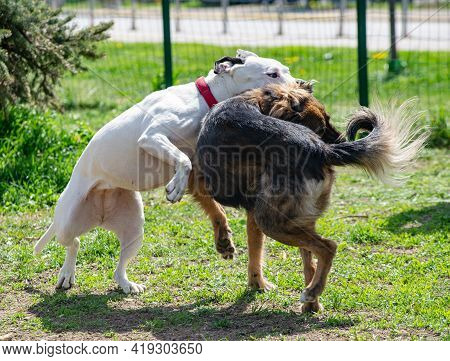 Two Dogs Are Fighting In Their Play, White Pitbull Terrier Is Biting The Neck Of A Brown Dog In An E