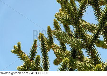 Araucaria Araucana, Monkey Puzzle Tree Or Monkey Tail Tree. View Of The Leaves Of The Araucaria Arau