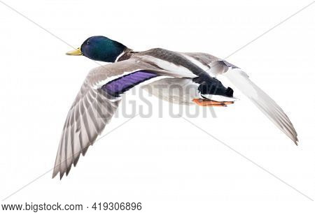 flying mallard duck drake isolated on white background