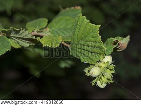 Leaves And Fruits Of Common Hazel, Corylus Avellana. Photo Taken In Beteta Gorge, Province Of Cuenca
