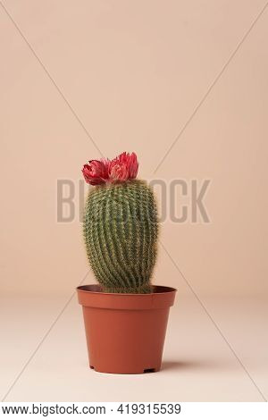 Cactus With Flower In A Brown Pot. Flowering Cactus