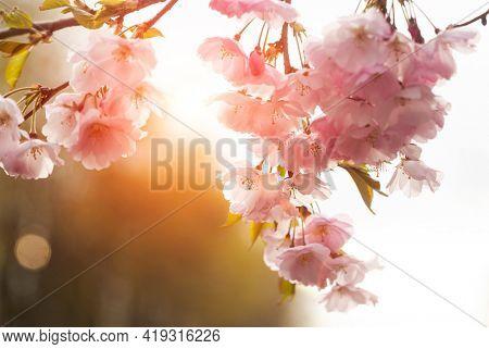 Sakura flowers over blurred background