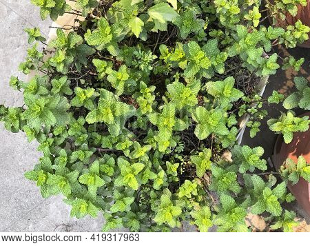 Green Leaves Of Mint. Fresh Mint Leaves Growing In The Garden