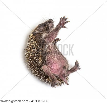 Sick Young European hedgehog in distress, on its back