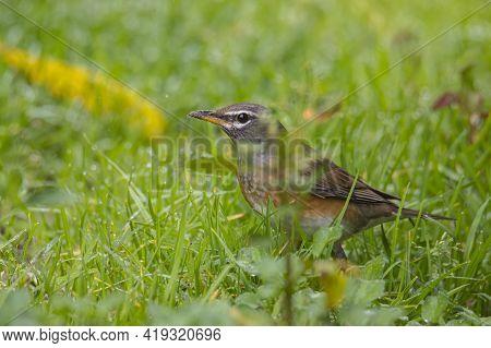 Nature Wildlife Image Of Eyebrow Thrush Bird On Nature Jungle
