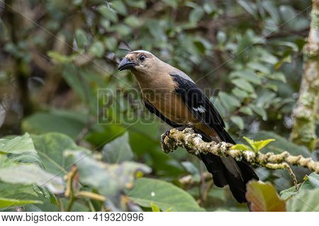 Nature Wildlife Image Of Beautiful Huge Bird Bornean Treepie (dendrocitta Cinerascen) Known Also End