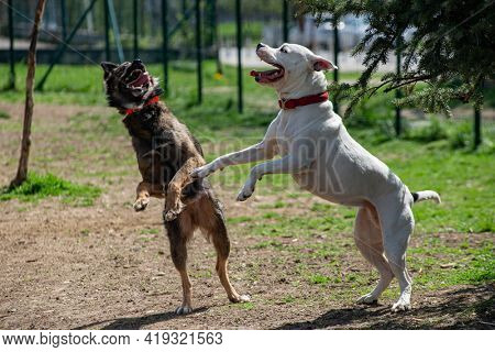 Two dogs on their back feet playing for domination, one is white Pitbull terrier, other is a brown half breed.