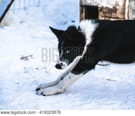 Black And White Alaskan Husky Sled Dog Relaxing In The Kennel.