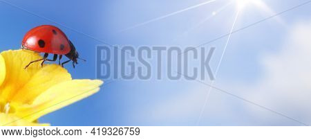 Red ladybug on on yellow flower on sunny sky background, ladybird creeps on petal of plant in spring in garden in summer