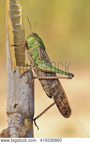 Green Insect Animal Grasshopper Insect In A Log