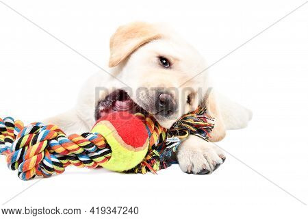 Cute Labrador Puppy Chewing A Toy For Dogs Isolated On White Background