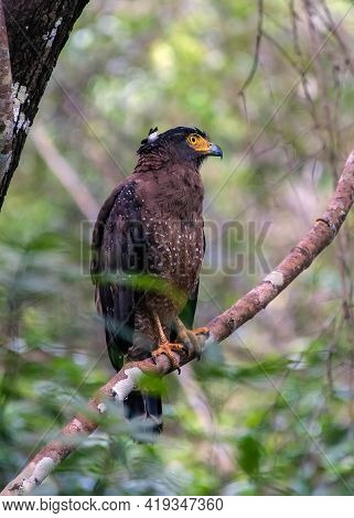 Crested Serpent Eagle (spilornis Cheela) Is A Medium Sized Raptor Found In Forest Habitats Across Th